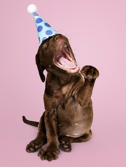 Cute labrador retriever puppy wearing a party hat