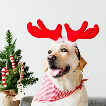 Cute labrador retriever wearing antlers