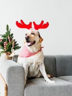 Cute Labrador Retriever wearing antlers