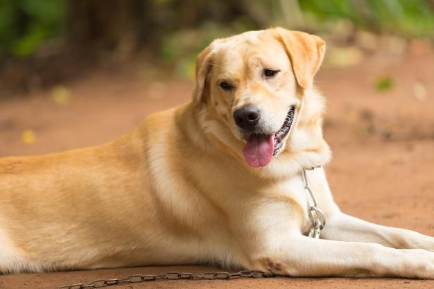 Cute of labrador retriever