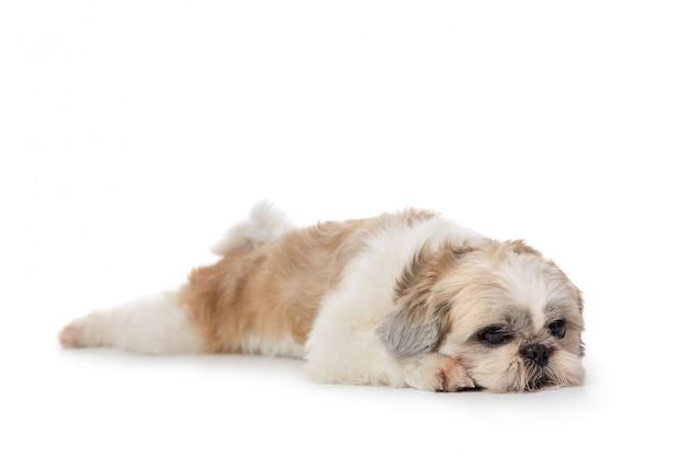 床に横たわってかわいい怠惰なシーズー犬