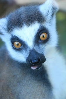 A cute lemur
