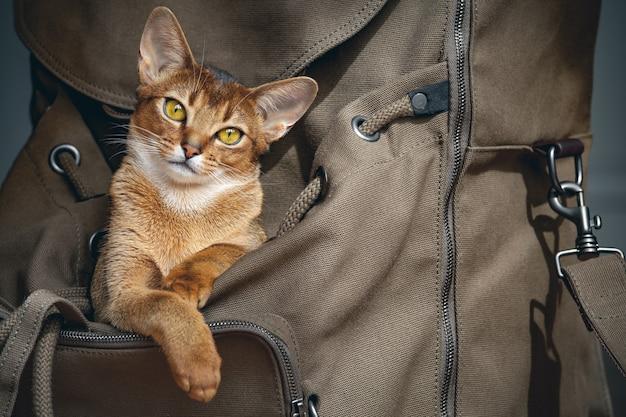 오픈 백패커에 앉아 아마도 당신과 함께 여행할 것이라고 말하는 귀여운 밝은 갈색 고양이