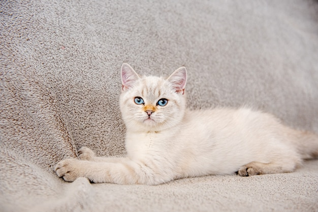 A cute light gray british kitten with blue eyes is sitting on a gray sofa