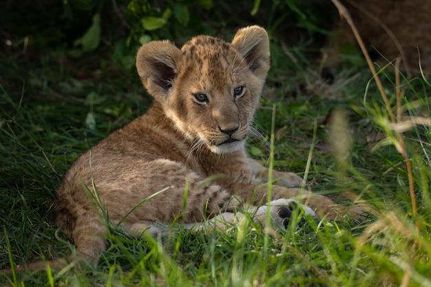 かわいいライオンの子 Premium写真