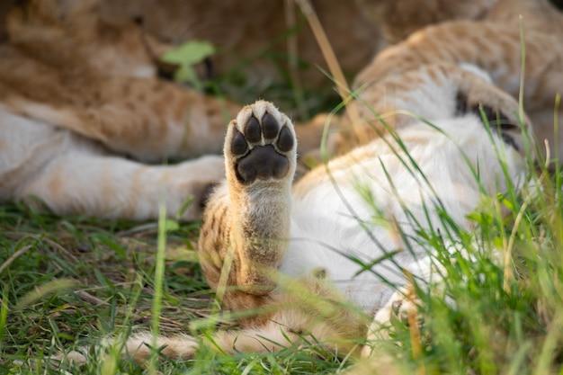 かわいいライオンの子