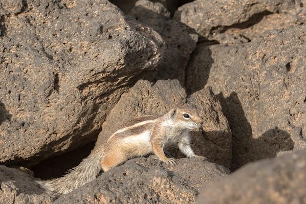 스페인 푸에르테벤투라의 돌 배경에 있는 귀여운 아프리카 땅 다람쥐