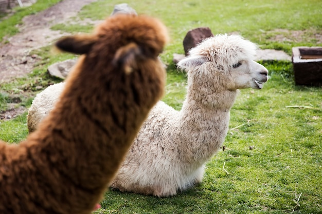 Cute little baby alpaca