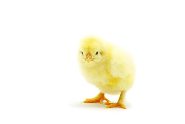 分離されたかわいい小さな赤ちゃん鶏