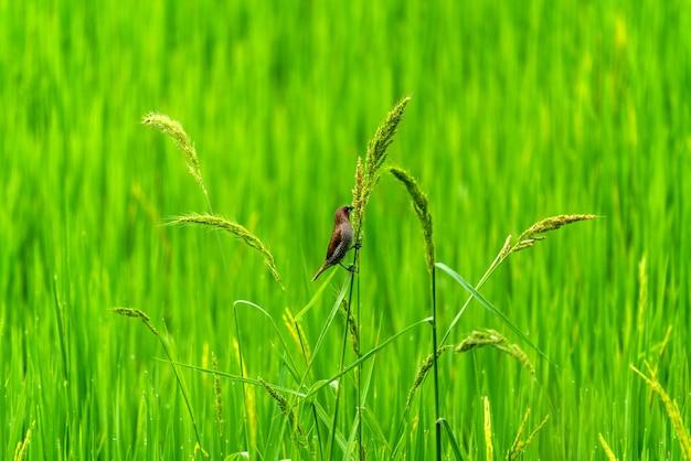 녹색 논에서 귀여운 작은 새