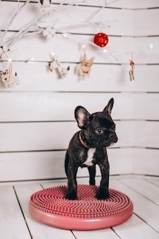 Simpatico bulldog francese nero in studio Foto Gratuite