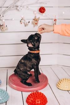 Cute little black french bulldog in studio