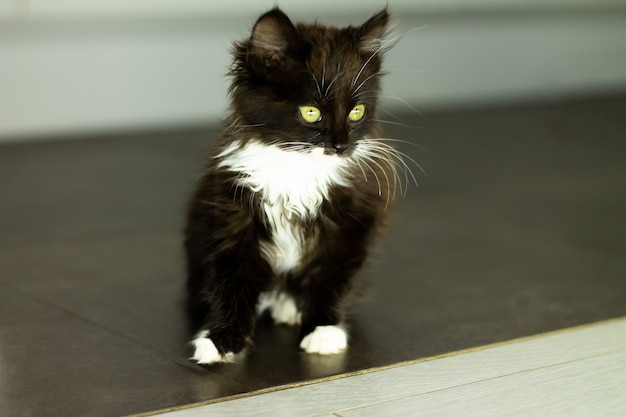 Cute little black kitten with white breast and paws and yellow eyes, sitting on a dark floor
