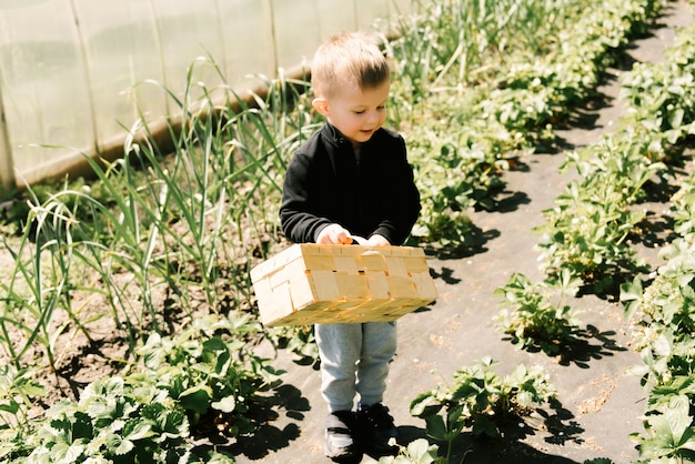 A cute little boy picks strawberries from the garden
