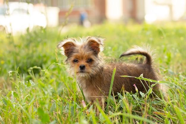 Милый маленький коричневый щенок на прогулке в парке