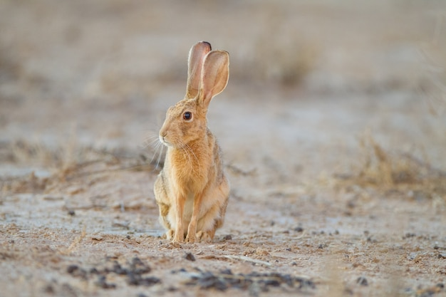 Cute little brown rabbit in the middle of the desert