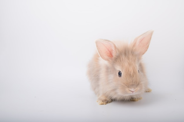 A cute little brown rabbit running on a white background.