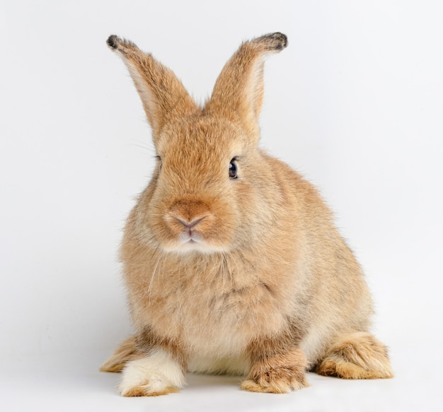 Cute little brown rabbit on a white background