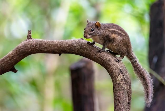 나무 가지, 태국에 귀여운 작은 갈색 다람쥐