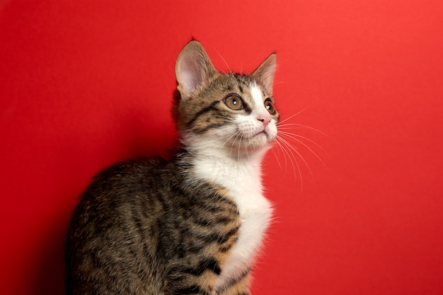 Cute little cat posing on red isolated background