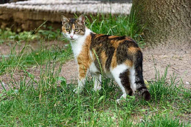 Cute little cat with beautiful colors standing in the middle of a grass-covered field