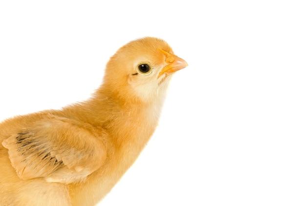 흰색 배경에 고립 된 귀여운 작은 닭
