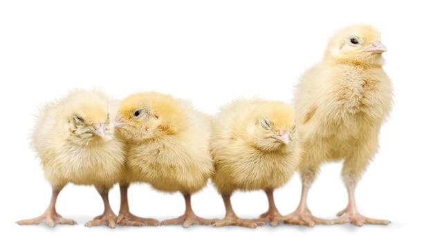 흰색 바탕에 귀여운 작은 닭
