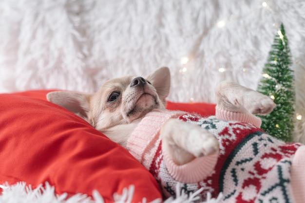 Милая маленькая рождественская собачка чихуахуа в свитере лежит на одеяле