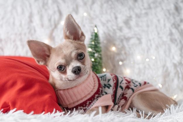 Милая маленькая рождественская собака чихуахуа в свитере