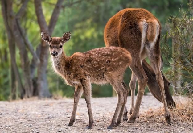 Милая маленькая лань сфотографирована в национальном парке монфраг, испания