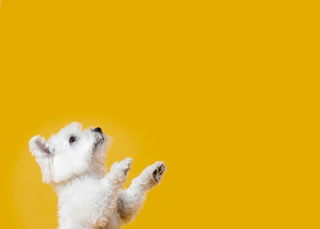 Cute little dog isolated on yellow