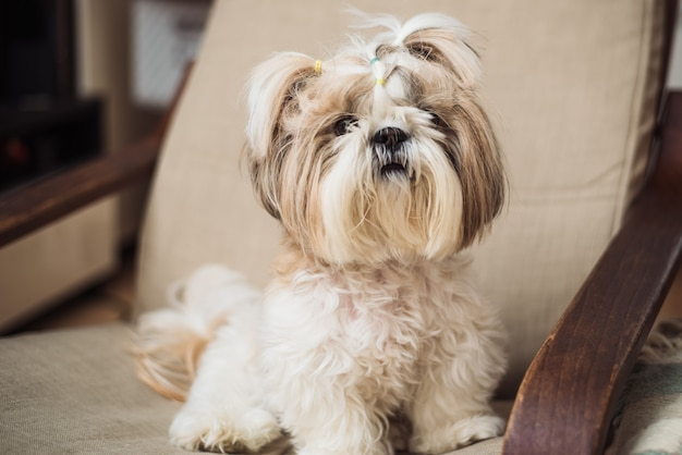 A cute little dog shi tzu sits indoors on a chair. funny puppy shih tsu is at home
