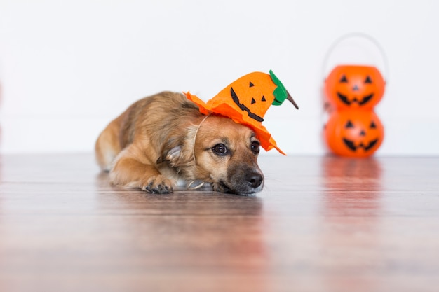 Cute little dog siting on the wood floor with a costume pumpkin. halloween concept.