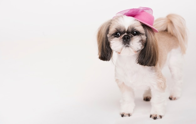 Cute little dog with a hat