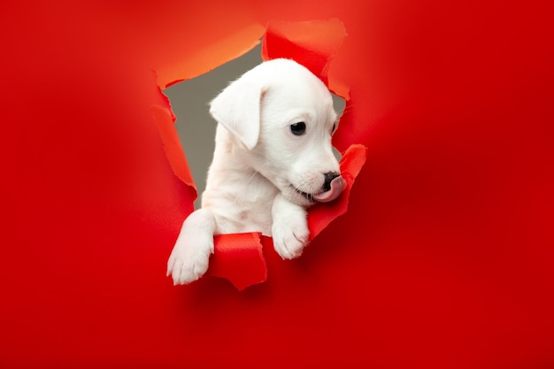 Cute and little doggy running breakthrough red studio background purposeful and inspired, attented. concept of motion, action, movement, goals, pets love. looks delighted, funny. copyspace for ad.