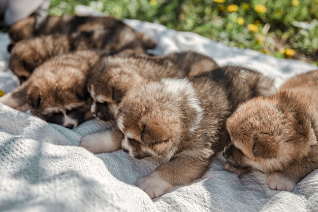 Cute little dogs lie on a blanket among the grass.