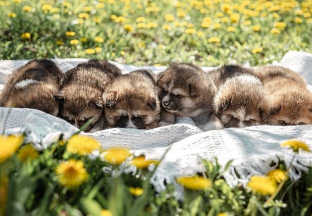 かわいい小さな犬がタンポポの間の毛布の上に横たわっています