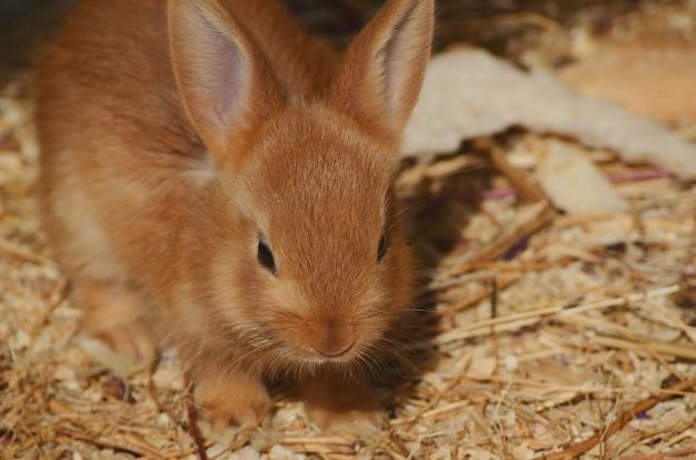 パドックでかわいいふわふわの赤い耳のウサギ。