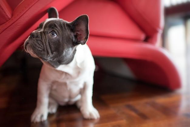 Cute little french bulldog puppy sitting on floor
