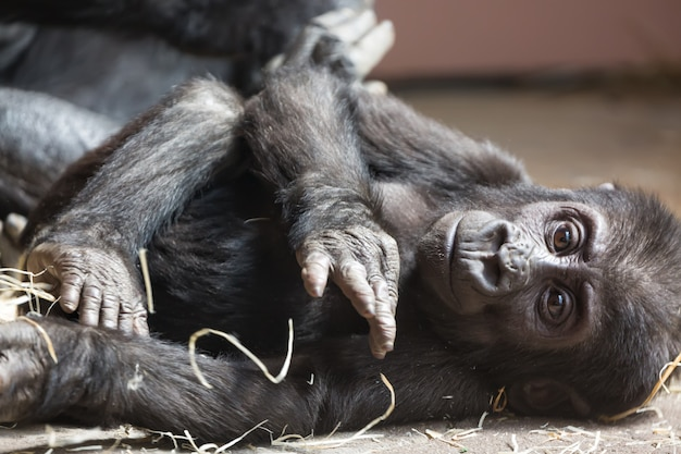 Cute little gorilla baby resting on the ground