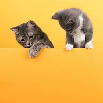 Милый маленький серый кот и котенок, на желтом, смотрит и играет. бизнес, copyspace.