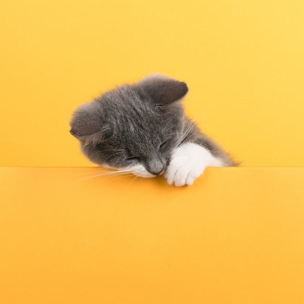 Cute little gray cat, on a yellow , looks and plays. buisiness , , copyspace.