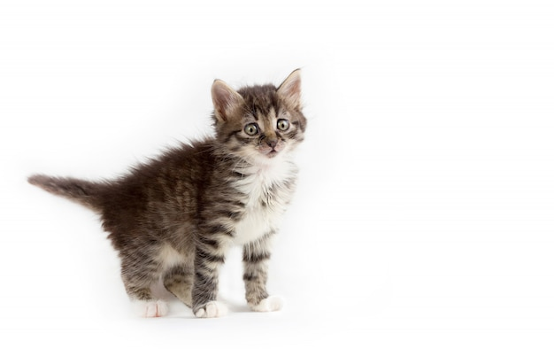 Cute little grey fluffy kitten isolated with space for text