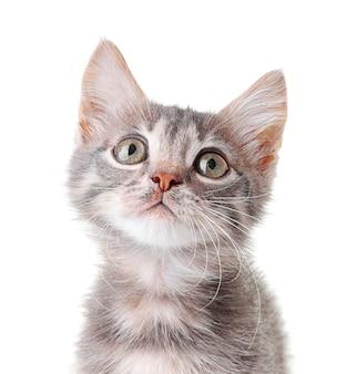 귀여운 작은 회색 고양이 흰색 절연