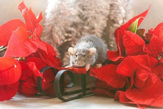 かわいい小さな灰色ネズミ、ポインセチアと赤いそりの上に座ってマウス。ラットの新年。中国の旧正月のシンボル