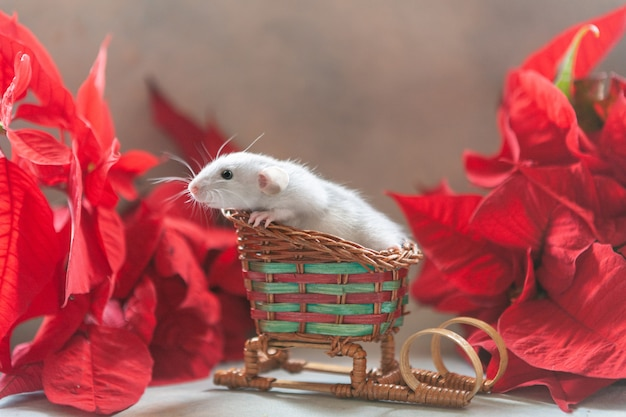 Cute little grey rat, mouse sitting on red sledges with poinsettia. chinese new year symbol