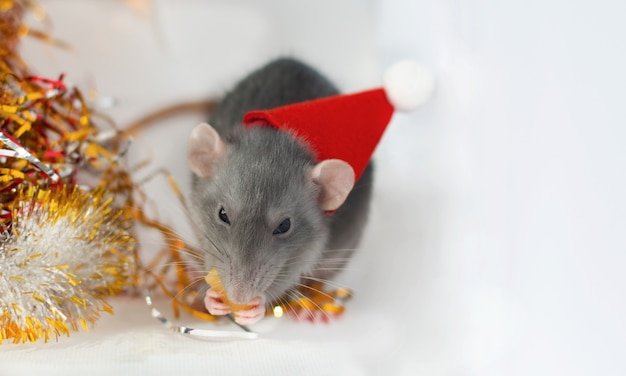 Cute little grey rat in a new year's hat eating bit of cheese with christmas decorations