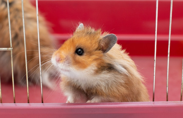 Cute little hamster lookinf from the cage