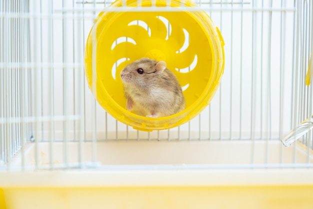 Cute little hamster sits in a wheel in a cage.