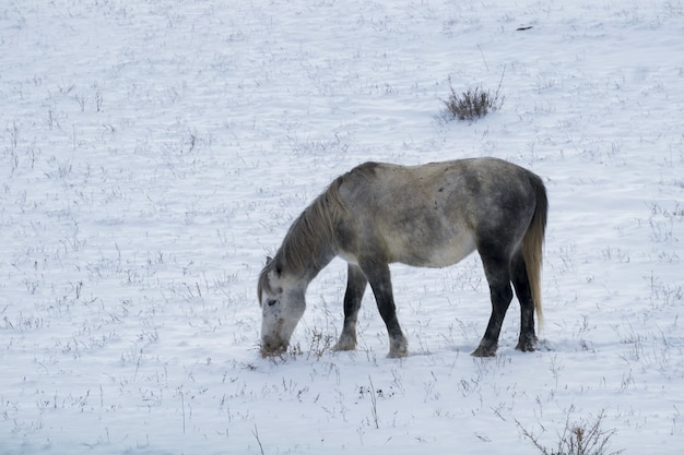 Piccolo cavallo sveglio sul campo nevicato durante il giorno di inverno
